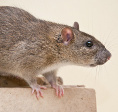 rat contrats de dératisation farago manche calvados
